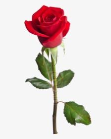 Single Rose Png Images Free Transparent Single Rose Download Kindpng