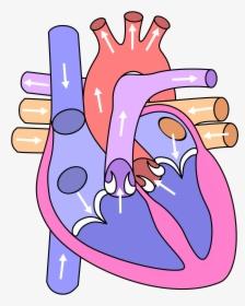 Diagram Of Fetal Circulation Clipart 3 By Anna ...