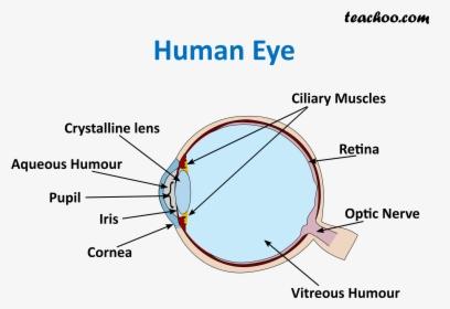 Human Eye Teachoo Human Eye Diagram For Class 8 Hd Png