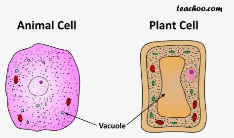 Picture - Class 9 Animal Cell And Plant Cell Diagram, HD ...