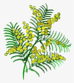 Mimosa Da Colorare.Ramo Mimosa Da Colorare Hd Png Download Kindpng