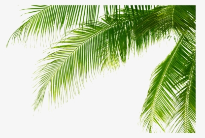 Palm Tree Leaf Png Images Free Transparent Palm Tree Leaf Download Kindpng Watercolor seamless background with tropical leaves. palm tree leaf png images free